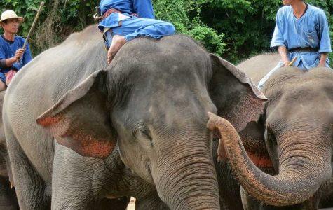 Elephants in Thailand, Courtesy of Nicola Mayer