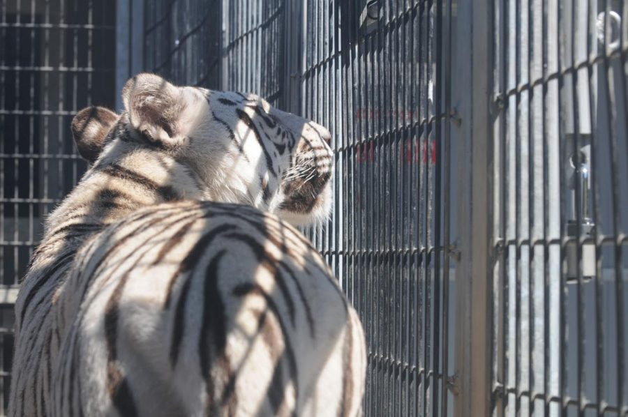 A big cat pokes its face out to see the outside a cage. Staff Writer Jake Lieberman believes big cats, like this one pictured, shouldn't be kept captive, and deserve to be roaming free in their natural habitat. Creative Commons Image: Wikipedia Commons.